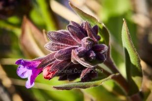 Pľúcnik lekársky (Pulmonaria officinalis)